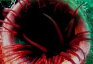 Cerianthus rosso a tubo bianco