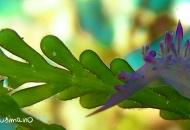 Nudibranco azzurro-viola