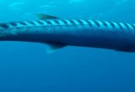Primopiano di Barracuda
